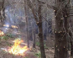 A roadside shaded fuel break assures that fires originating from the road aren't able to travel up into the tree canopy, where they easily spread out of control.